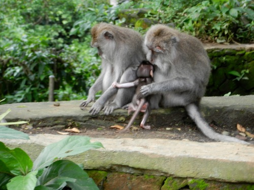 A couple monkeys and a beruk (baby monkey without hair yet)